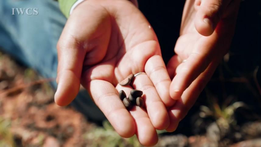 纳瓦霍部落的松子采摘传统